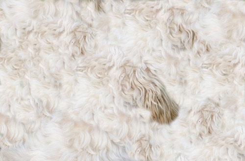 Le pelage du chien