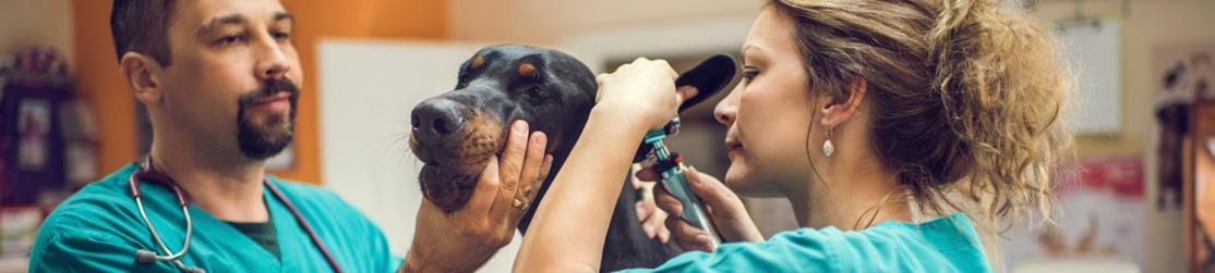 Le métier d'assistant spécialisé vétérinaire