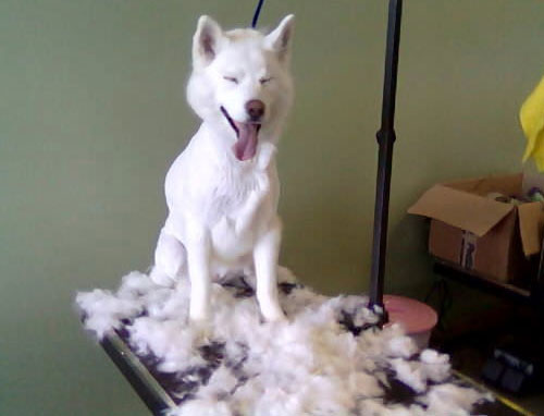 Rasage du chien