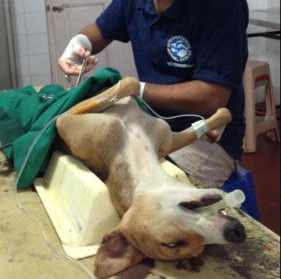 Opération chirurgicale de strérilisation