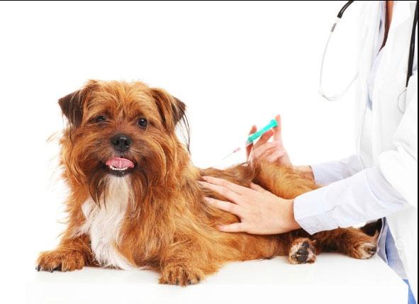 Piqûre par le vétérinaire