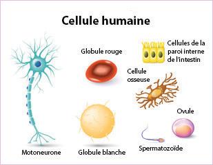 Cellule Humaine l'organisation générale du corps humain - cours cap petite enfance