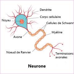 Neurônes