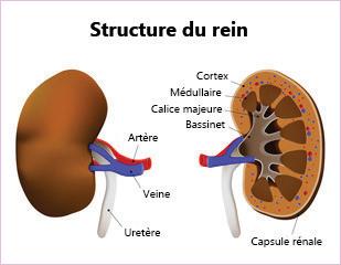 Structure du rein