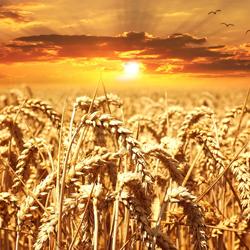Le Gluten se trouve dans le blé