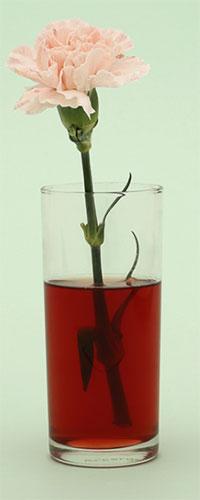 Fleur teinte à l'aide d'un colorant alimentaire